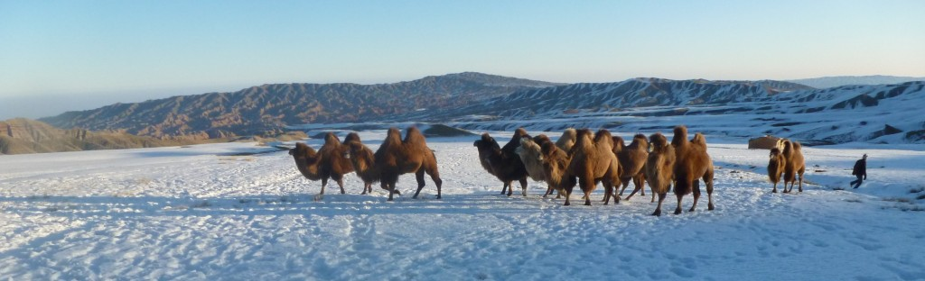 Camels in the Tian Shan foothills