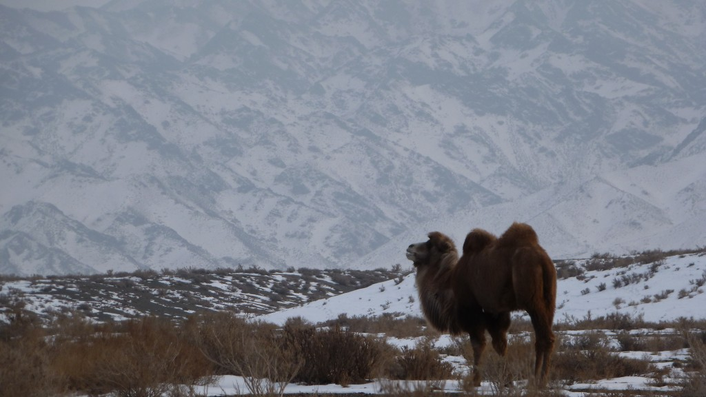 Camels outside of Dabancheng